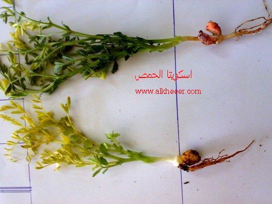 اسكوكيتا الحمص Ascocyta faba