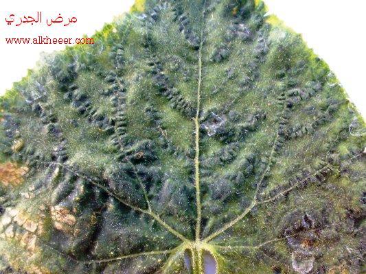 الجدري نبات الكوسا امراض النبات