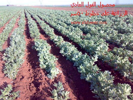 محصول الفول العادي Vicia faba