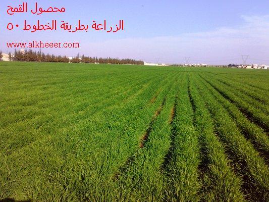 محصول القمح Triticum wheat