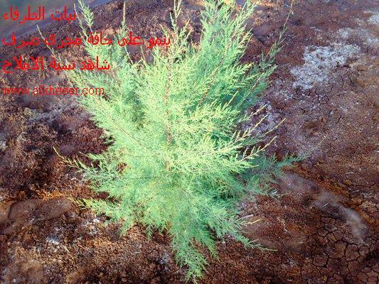 نبات الطرفاء