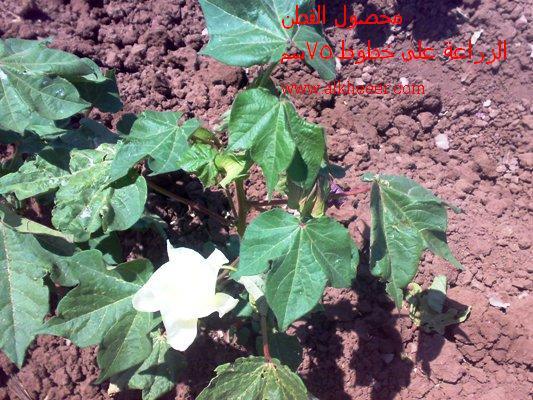 محصول القطن