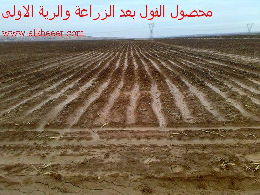 محصول الفول العادي الزراعة والرية