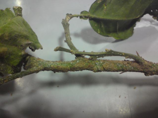 بكاميرتي (الحشرة القشرية افرع وثمار