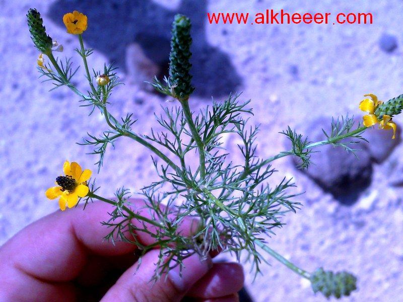 نبات الادونيس زراعية حصري منتديات