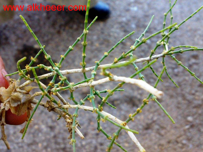 نبات الاشنان السوري زراعية حصري