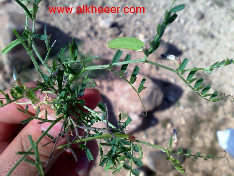 نبات الجلبان زراعية حصري منتديات