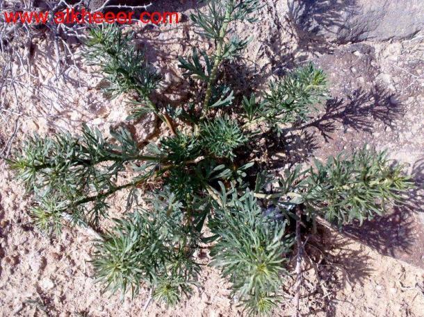 نبات الحرمل زراعية حصري منتديات
