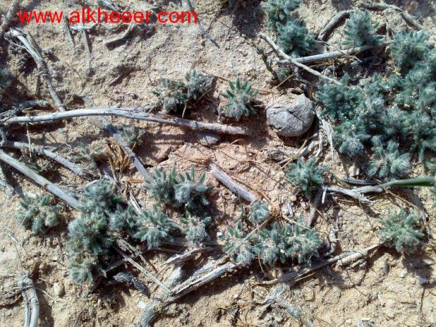 نبات خذراف زراعية حصري منتديات