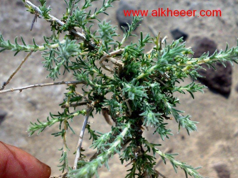 نبات روثا زراعية حصري منتديات