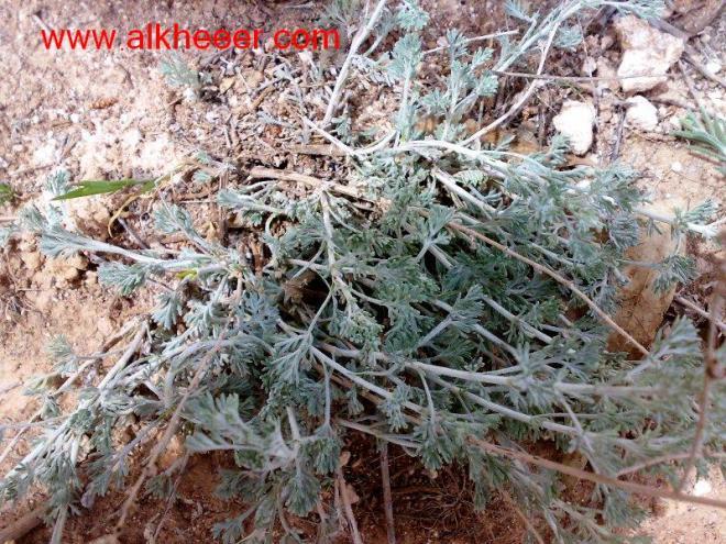 نبات عشبي ابيض زراعية حصري