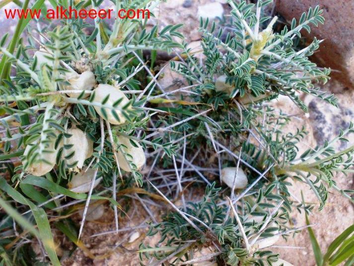 نبات قتاد زراعية حصري منتديات